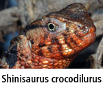 Shinisaurus crocodilurus
