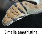 Simalia amethistina