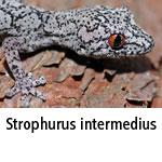 Strophurus intermedius