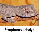 Strophurus krisalys