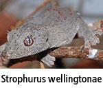 Strophurus wellingtonae