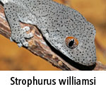 Strophurus williamsi