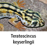 Teratoscincus keyserlingii
