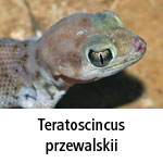 Teratoscincus przewalskii
