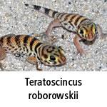 Teratoscincus roborowskii