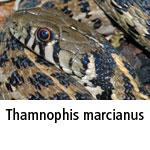 Thamnophis marcianus
