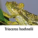 Trioceros hoehnelii