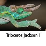 Trioceros jacksonii
