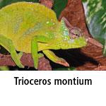 Trioceros montium