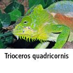Trioceros quadricornis