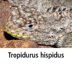 Tropidurus hispidus