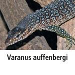 Varanus auffenbergi