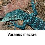 Varanus macraei