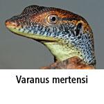 Varanus mertensi