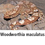 Woodworthia maculatus