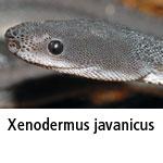 Xenodermus javanicus