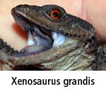 Xenosaurus grandis