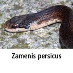 Zamenis persicus