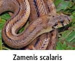 Zamenis scalaris