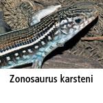 Zonosaurus karsteni