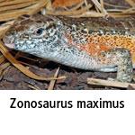 Zonosaurus maximus