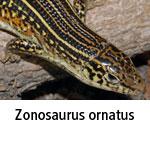 Zonosaurus ornatus