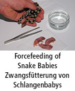 Forcefeeding Snakes
