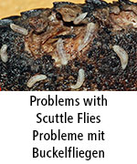 Problems with Scuttle Flies